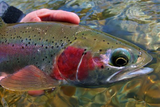 Columbia River Rainbows Fishing Tours Rainbow Trout Close Up