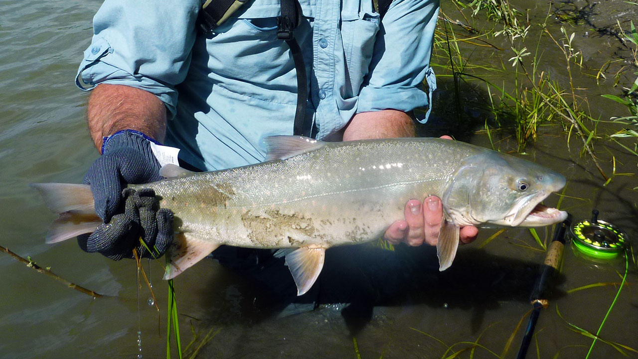 Columbia River Bull Trout - 3