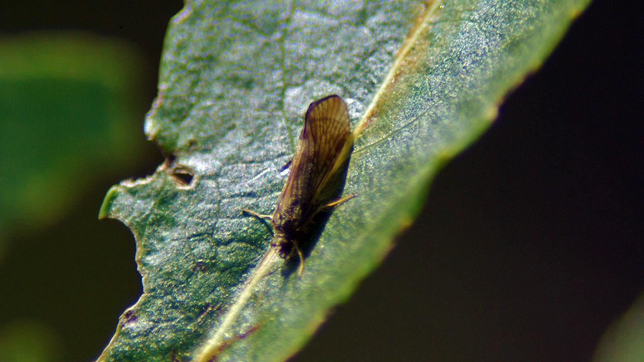 Columbia River Caddisfly
