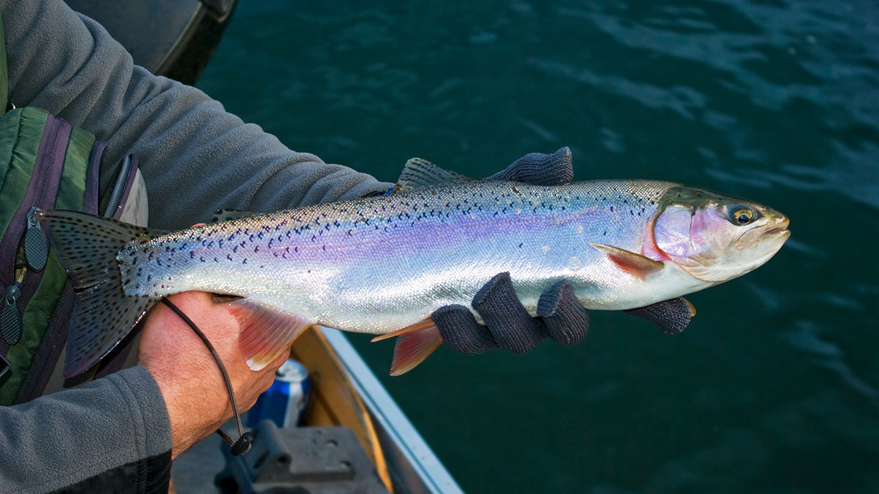 Columbia River Rainbow Trout - 2