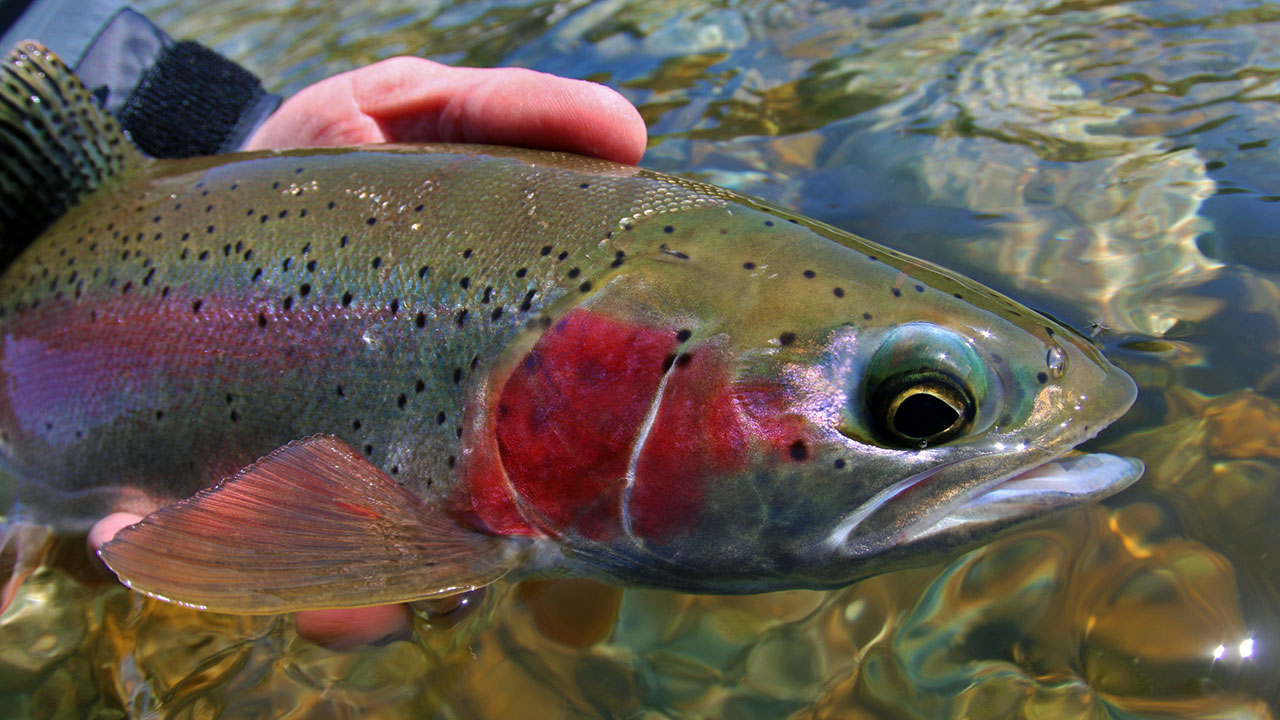 Columbia River Rainbows - Client Rainbow Trout Closeup
